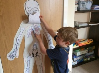 Showing the lungs from our respiratory system