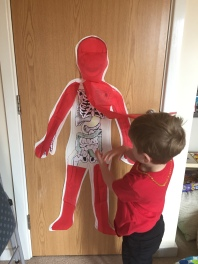 Showing our digestive system underneath the muscle layer