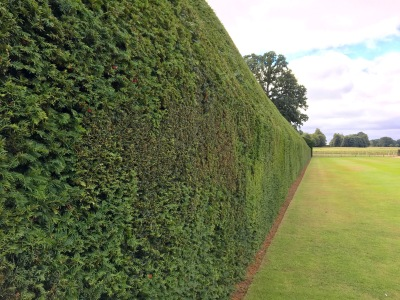 300 year old Yew hedge